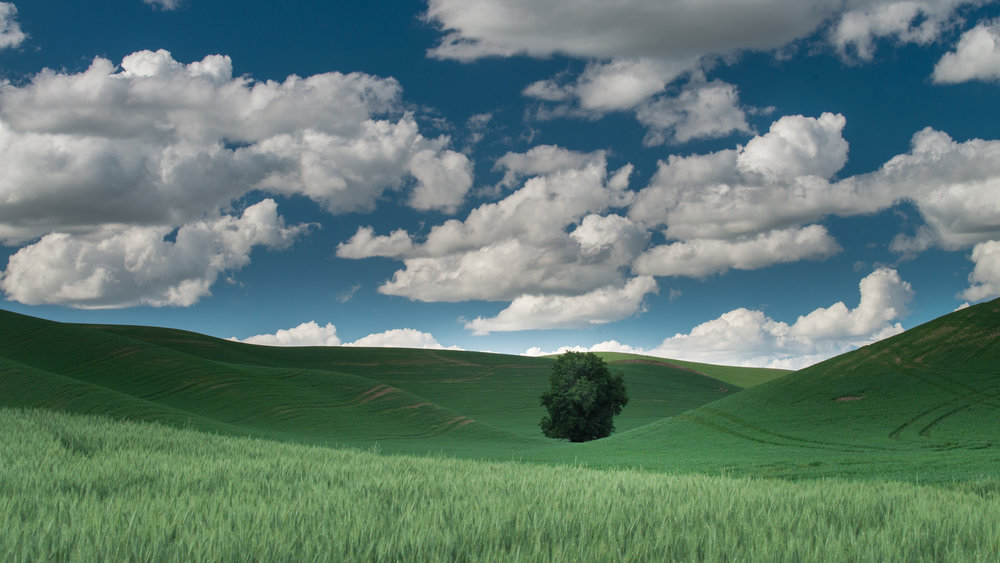 Lone Tree in field of Wheat, Palouse (WA)