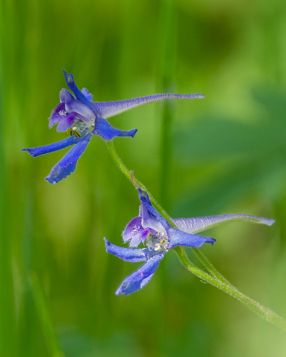 Upland Larkspur ((Delphinium nuttallianum)