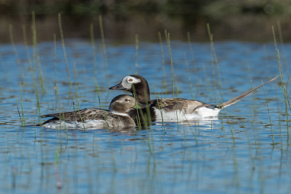 Long-tailed Duck (Clangula hyemalis)