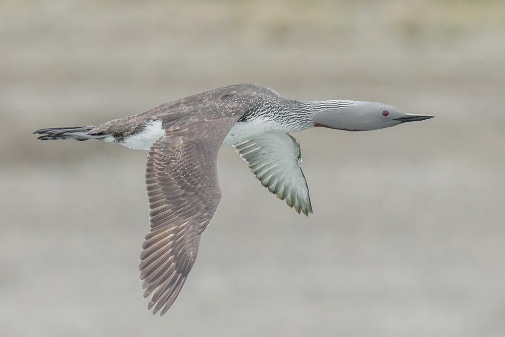 Featured Photo 55: Red-throated Loon (Gavia stellata) - Meynpil'gino River, CHU (RU)  EQ: D7200, 500mm f/4   Taken: 7-8-2017 at 12:07   Settings: 750mm eqv, 1/1600s, f/5, ISO100, 1/3EV         Conditions: overcast