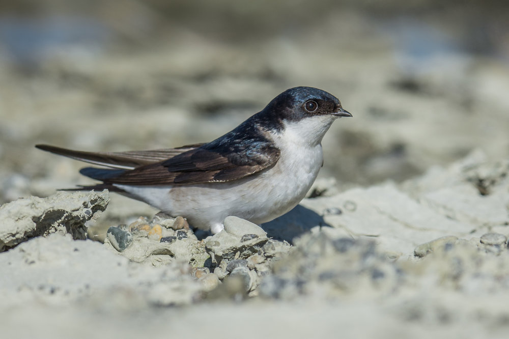Common House-Martin (Delichon urbicum)