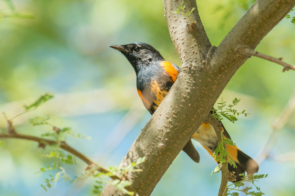 Featured Photo: American Redstart (Setophaga ruticilla), Primm (NV)  EQ: D800, 500mm f/1.4 Taken: 10-4-2018 at 15:06  Settings: 500mm, 1/800s, f/5.6, ISO800, 1/3EV Conditions: sunny in shade
