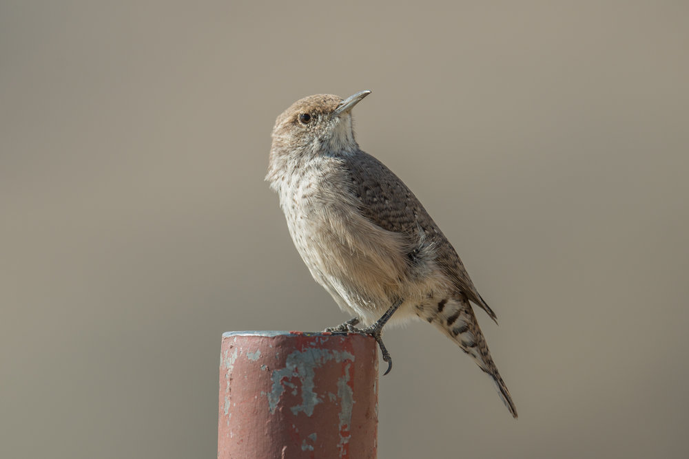 Rock Wren (Salpinctes obsoletus)