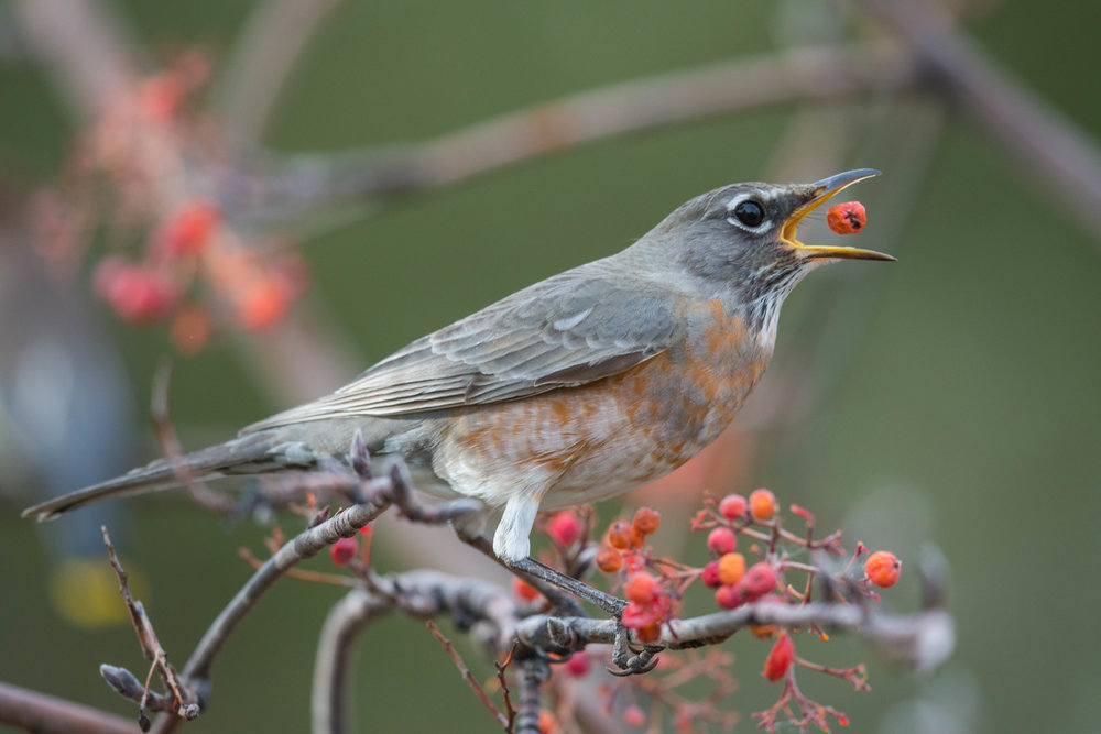 American Robin (Turdus migratorius) tossing a berry  Plateau Road, WAS (NV) Jan-2018