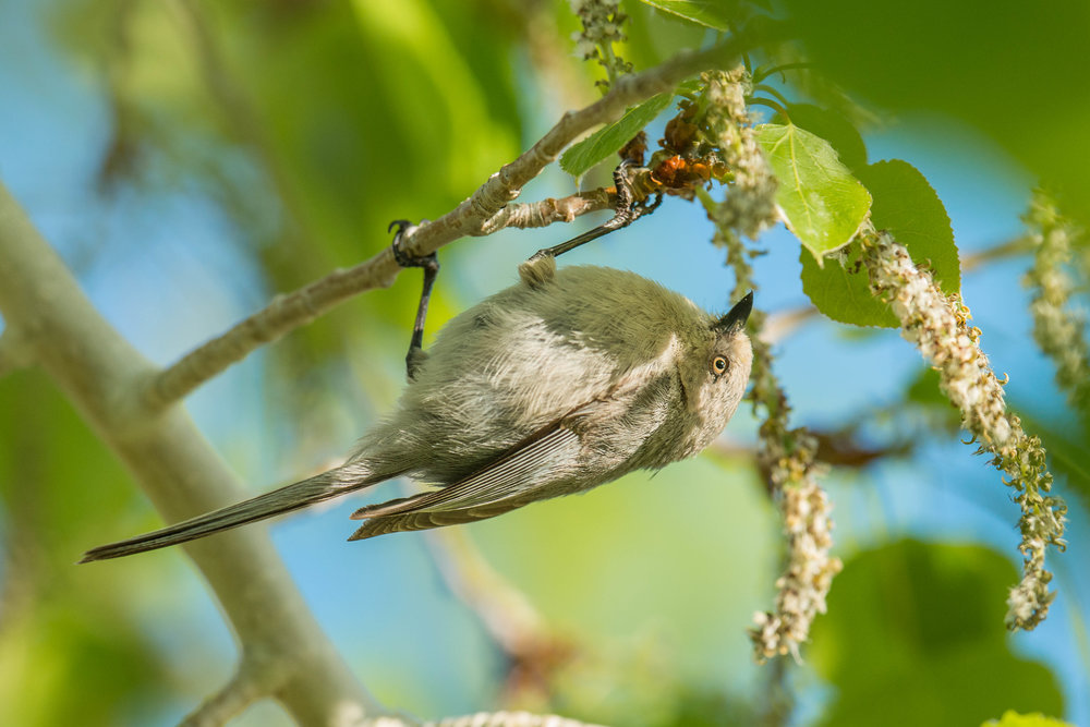 Bushtit, Interior (Psaltriparus minimus plumbeus) - Hunter Creek Canyon, WAS (NV) May-2018