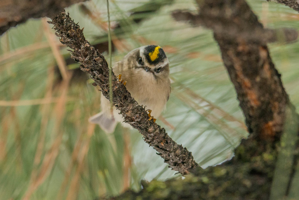 Golden-crowned Kinglet (Regulus satrapa) - Davis Creek RP, WAS (NV) Nov-2018