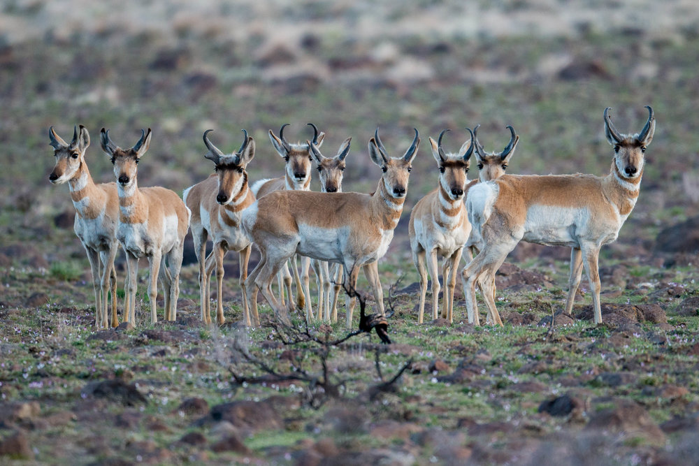 Pronghorn (Antilocapra americana) - Sheep Spring, WAS (NV) Apr-2018  I was out early and this herd of Proghorns were wandering around until there was enough light and then they noticed me. They didn't stick around and were off.