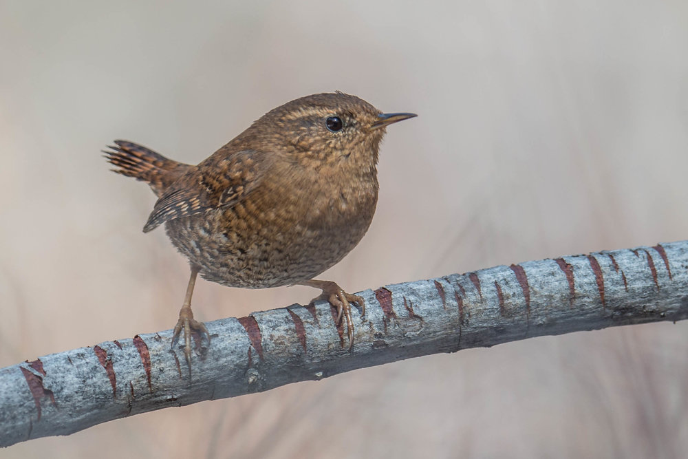 Pacific Wren (Troglodytes pacificus) - Davis Creek RP, WAS (NV) Mar-2018