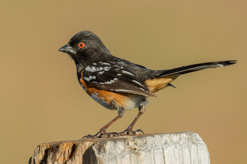 Spotted Towhee (Pipilo maculatus) - Hunter Creek Canyon, WAS (NV) May-2018