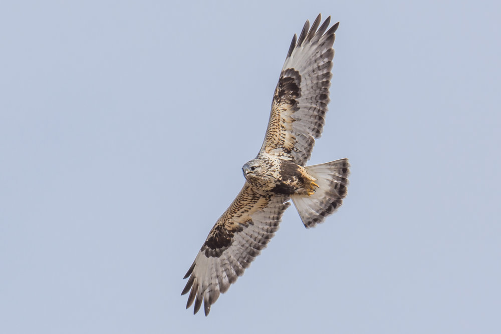 Rough-legged Hawk (Buteo lagopus), Minden CBC, DOU (NV), 12-30-2017  During the Minden CBC in Douglas County, I was very lucky to have a Rough-legged Hawk fly right over me (D7200 with 500mm f/4 lens, 750mm focal length, 1/1000s, f/6.3, ISO125, +.3EV).