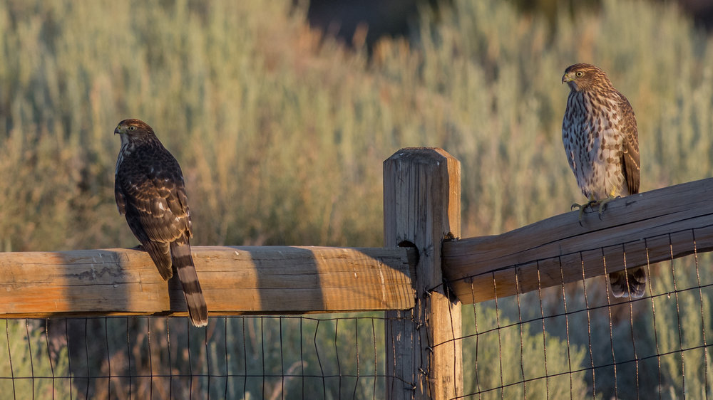 Cooper's Hawk (Accipiter cooperii), Mont Pelier, WAS (NV), 08-25-2018  This pair of Cooper's Hawks were perched on my fence time to time for a couple of days.  This photo was taken soon after sunrise (D7200 with 500mm f/4 lens, 750mm focal length, 1/640s, f/5, ISO640, +.3EV).