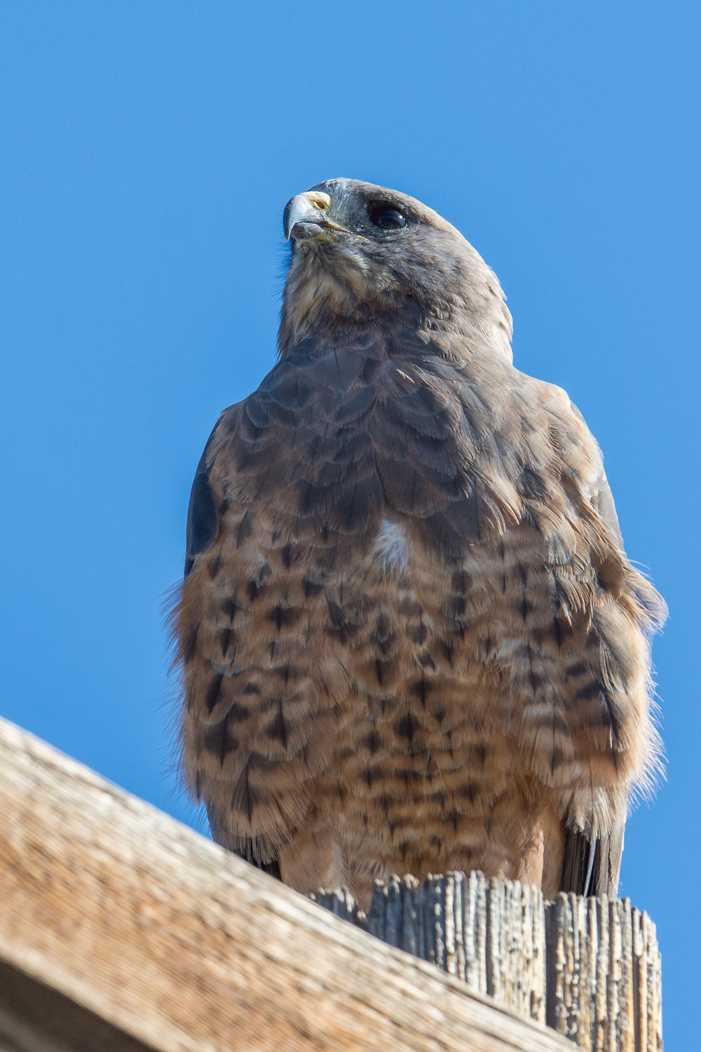 Swainson's Hawk (Buteo swainsoni), UNR AG Fields, WAS (NV), 09-12-2017  Swainson's Hawks have been nesting in the Reno area along the University of Reno Agricultural Fields.  Raptors love using the power line poles (D7200 with 500mm f/4 lens, 750mm focal length, 1/1250s, f/5.6, ISO250, +.3EV).