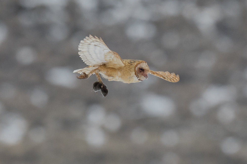 Barn Owl (Tyto alba), Swan Lake, WAS (NV), 01-08-2019  I capture this Barn Owl shortly after it dove into a field and it then flew off with a vole.  It flew into a patch of willows and short thereafter and returned to hunting in the same field (D500 with 500mm f/4 lens, 750mm focal length, 1/1600s, f/5.6, ISO1000, +.3EV).