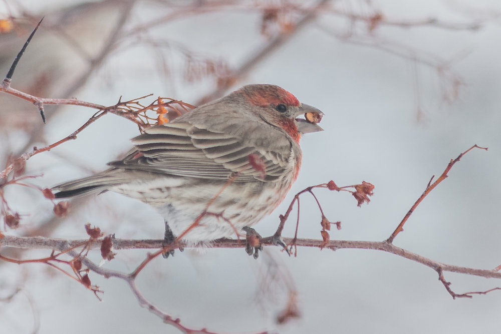 House Finch (Haemorhous mexicanus) feasting on one on the Cherry Trees.