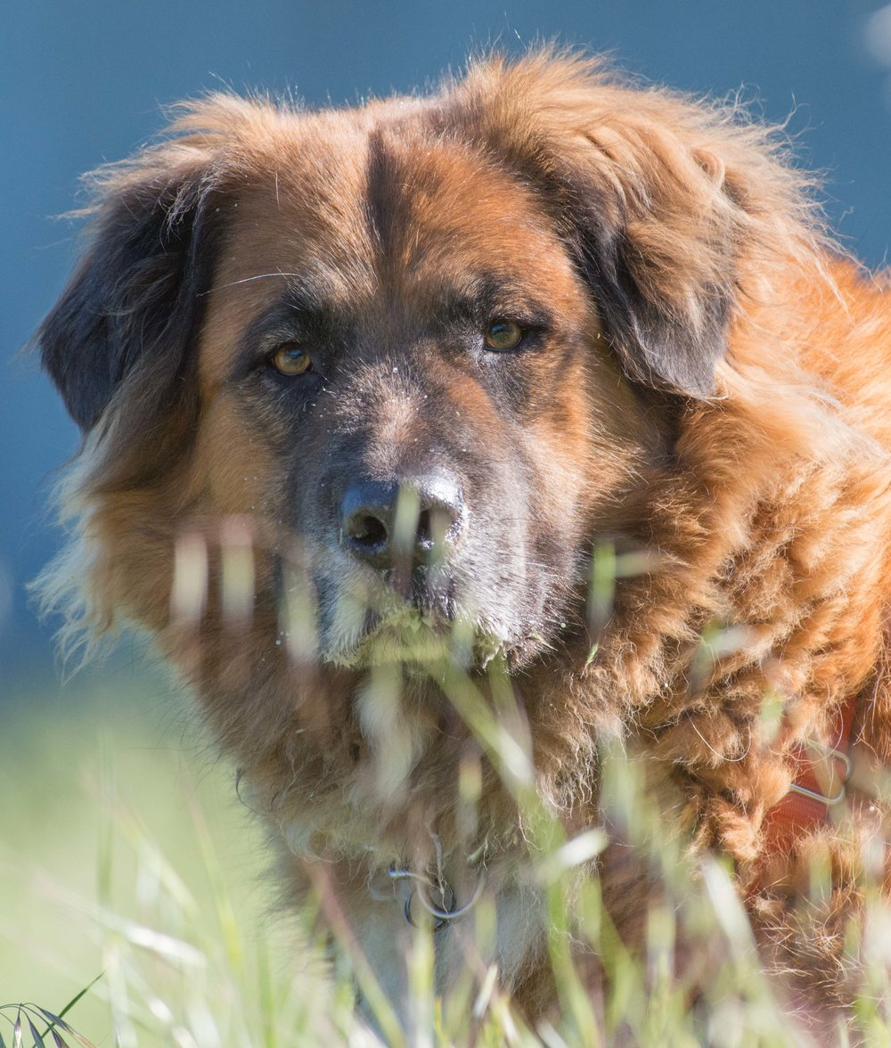 Old Man Hunkers was found Feb 2006 and was with us for 12 year.