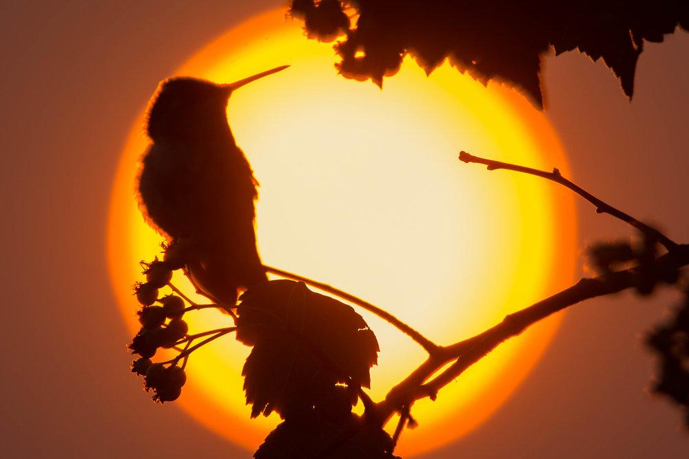 Rufous Hummingbird (Selasphorus rufus) at sunrise