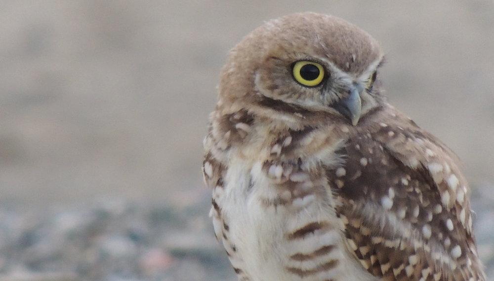 owl 2, 1052 x 600.jpg