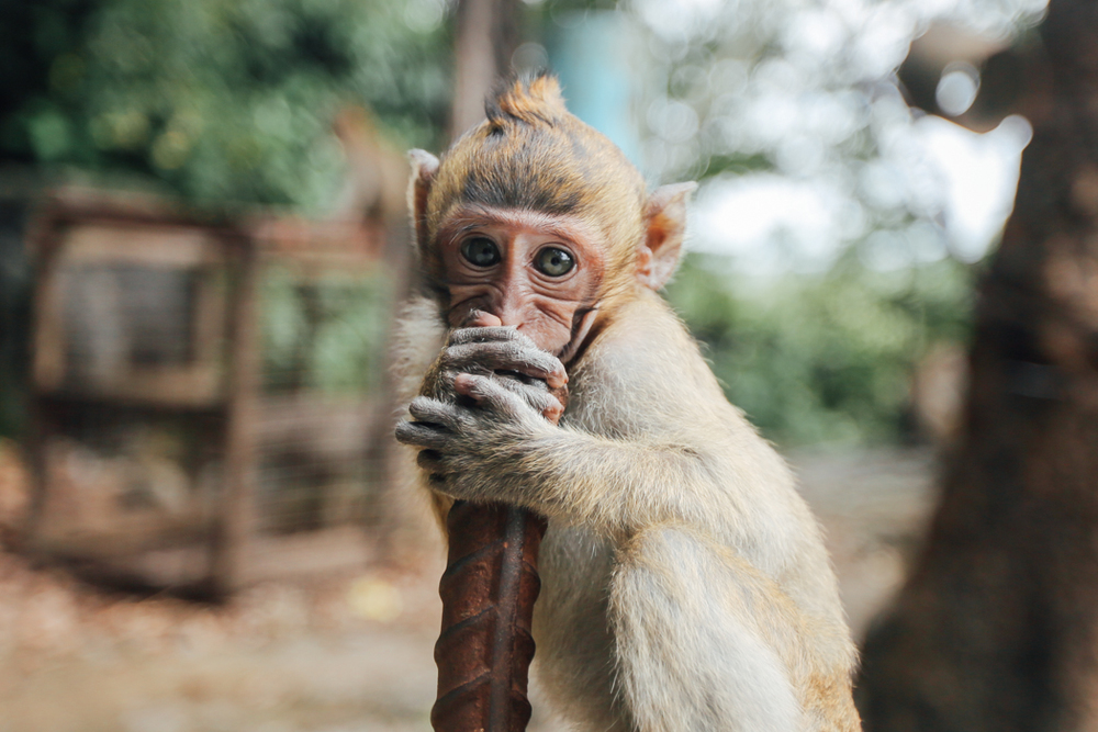 Baby Monkey at Tiger Temple in Krabi | DesignComb