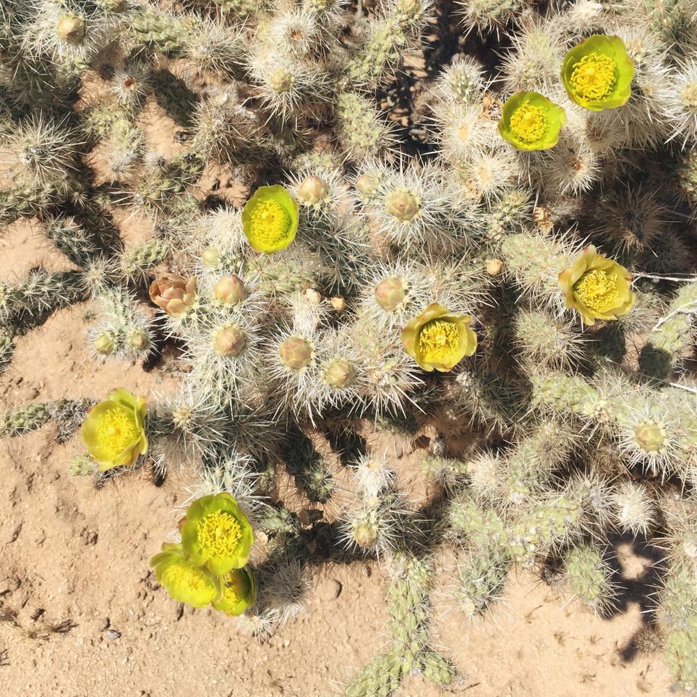 Cholla Cactus | DesignComb