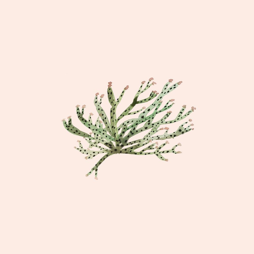 Buckhorn Cactus