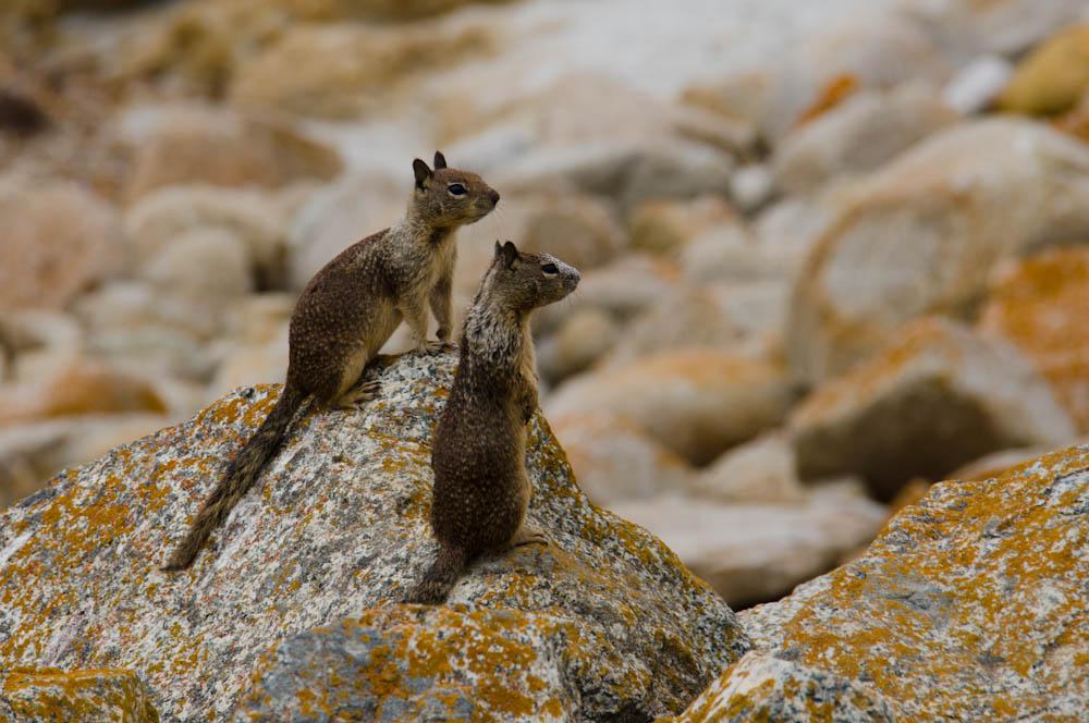 A couple of ground squirrels at Bird Rock, Monterey, CA, USA
