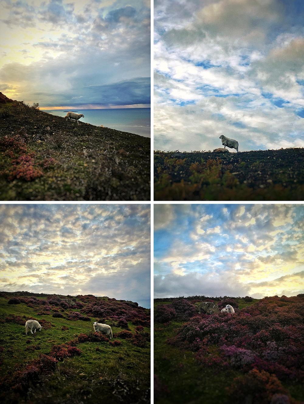 Sheep Wales