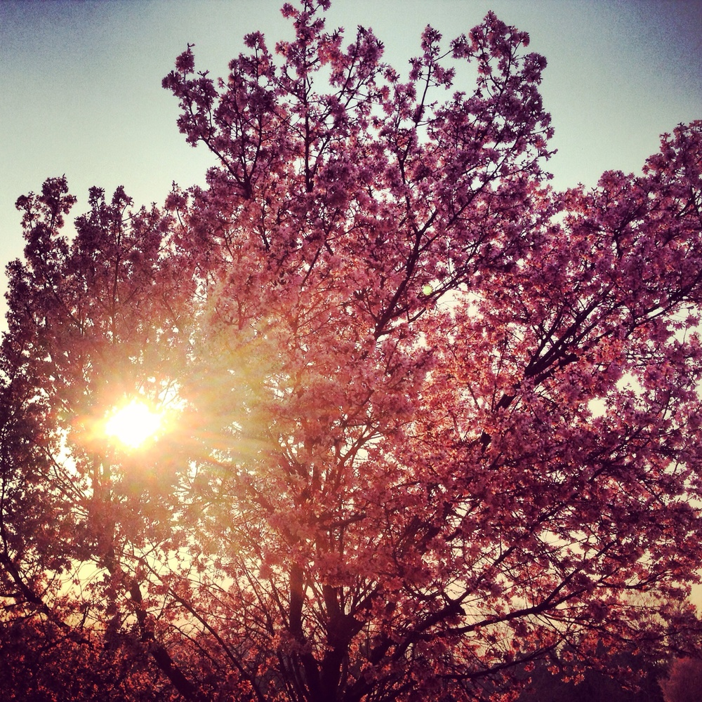 Cherry Blossom - CLT - Spring