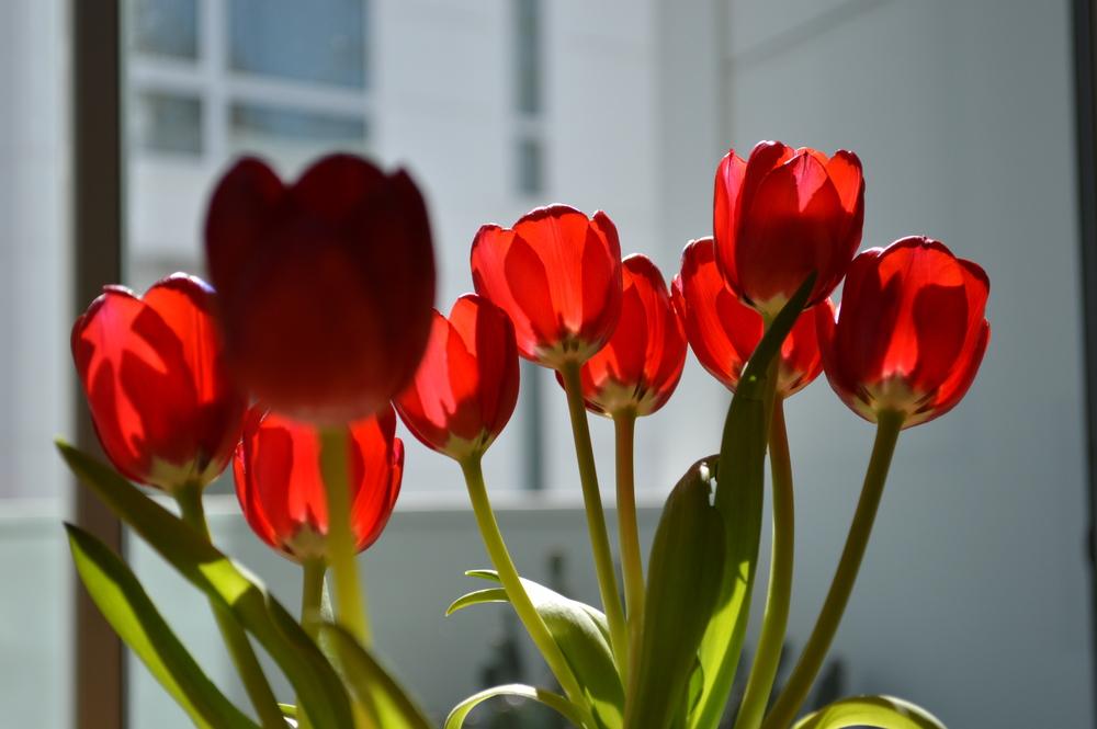 Lauren-Schwaiger-Blog-Tulips-Sunlight-Photo.jpg
