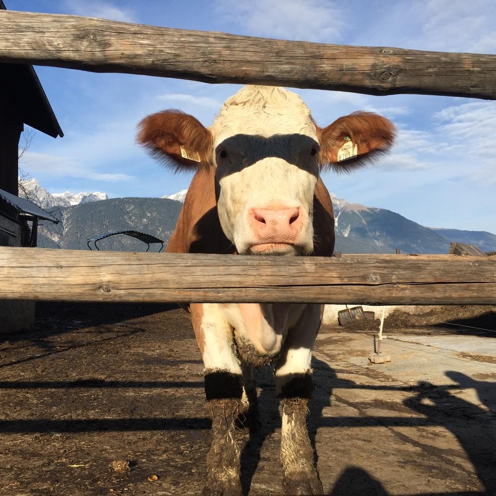 LaurenSchwaiger-Blog-Travel-Austria-Alps-Cow-Picture.jpg