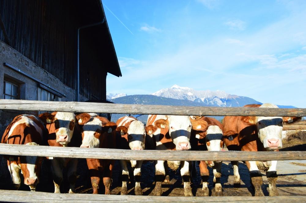 LaurenSchwaiger-Travel-Blog-Austria-Cows.jpg