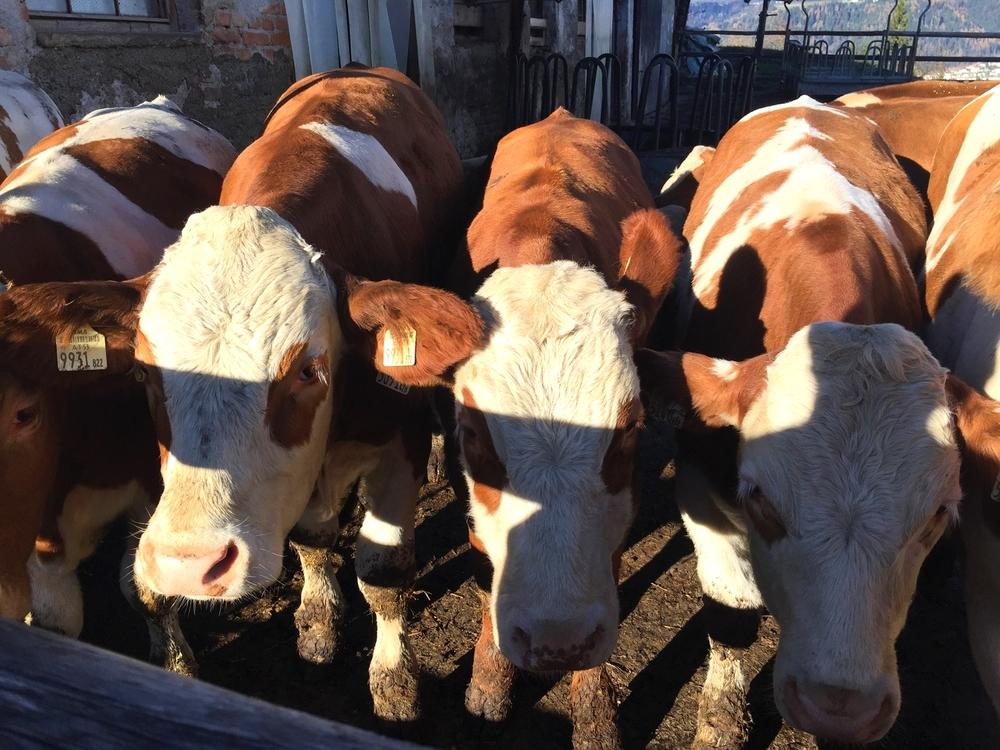 LaurenSchwaiger-Travel-Blog-Austria-Alps-Cows.jpg