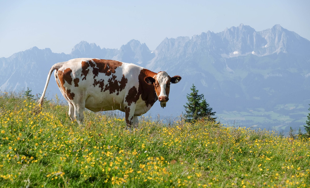 LaurenSchwaiger-Travel-Blog-Austria-Kitzbuhel-Alps-Cows.jpg