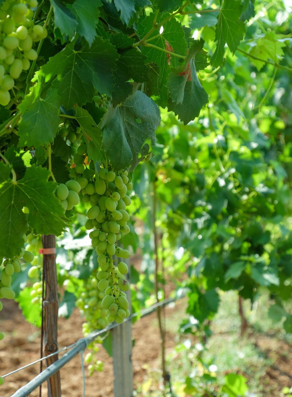 LaurenSchwaiger-Travel-Blog-Mallorca-Spain-Grapes-On-The-Vine.jpg