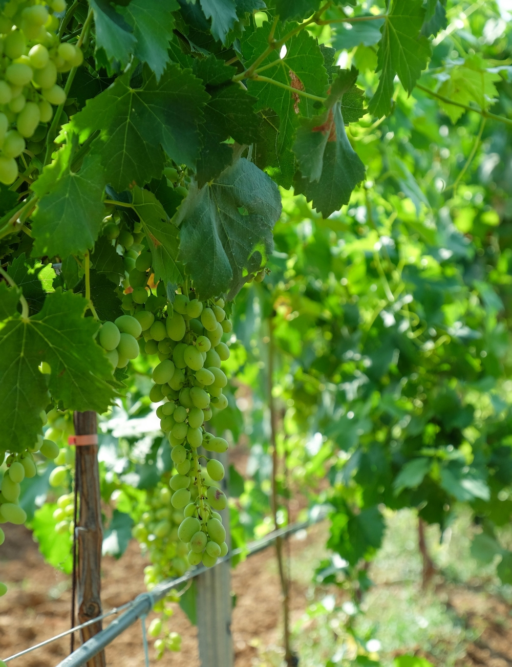LaurenSchwaiger-Life-Style-Travel-Blog-Mallorca-Spain-Grapes-on-the-vine.jpg