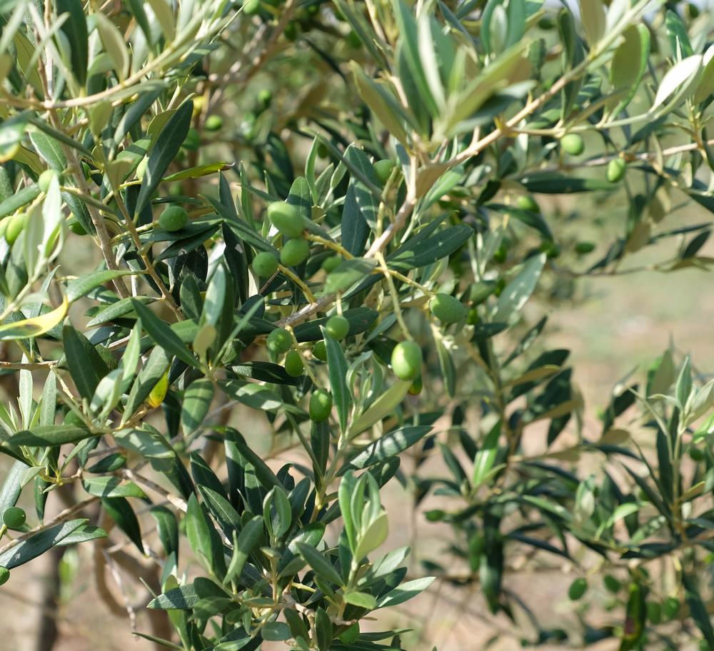 LaurenSchwaiger-life-style-travel-blog-mallorca-spain-olive-trees.jpg