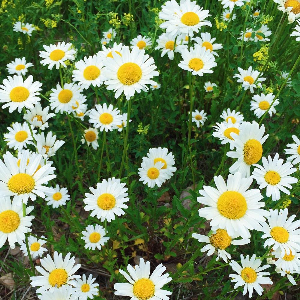 daisies-wildflowers-park-city-utah-laurenschwaiger-travel-blog.jpg