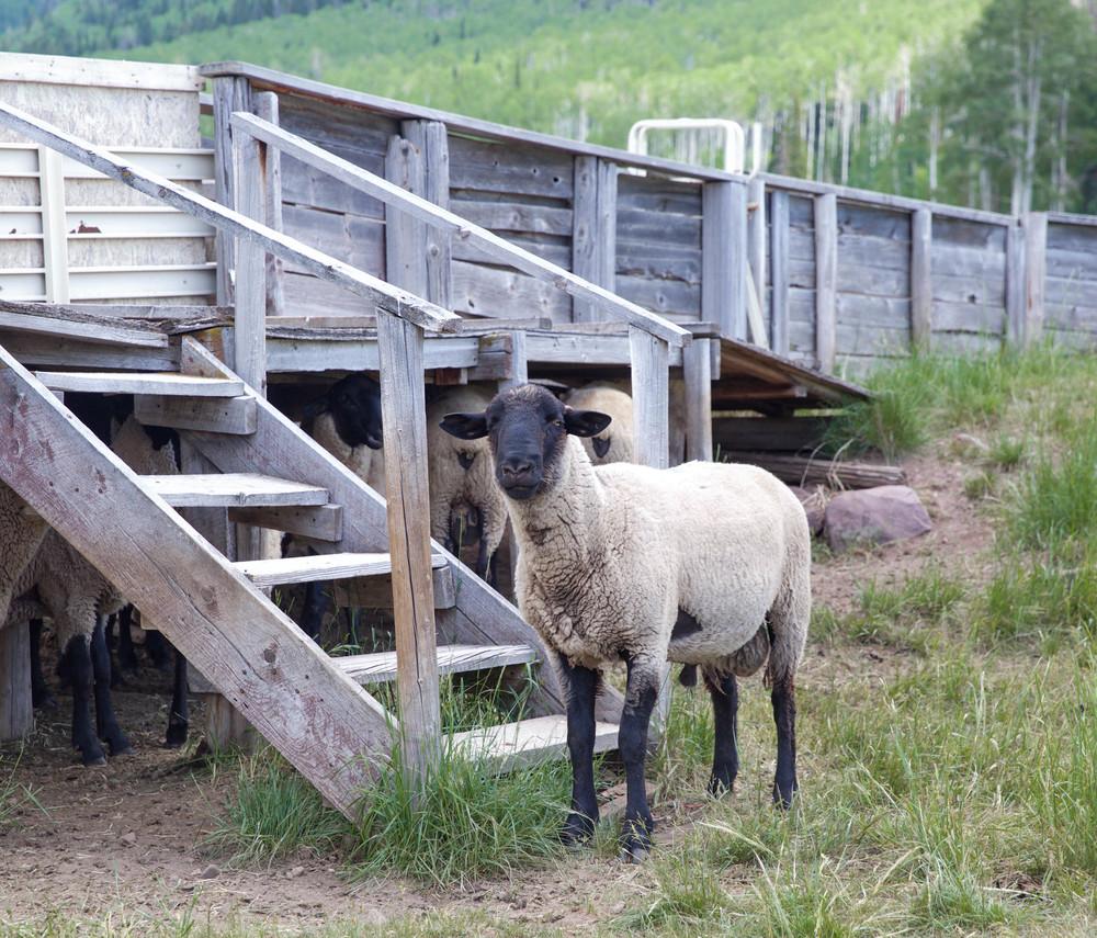 thousand-peaks-ranch-utah-sheep-laurenschwaiger-travel-blog.jpg