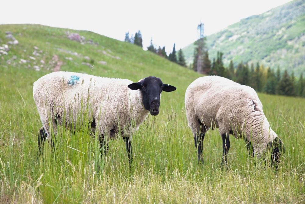 thousand-peaks-ranch-sheep-utah-laurenschwaiger-travel-blog.jpg