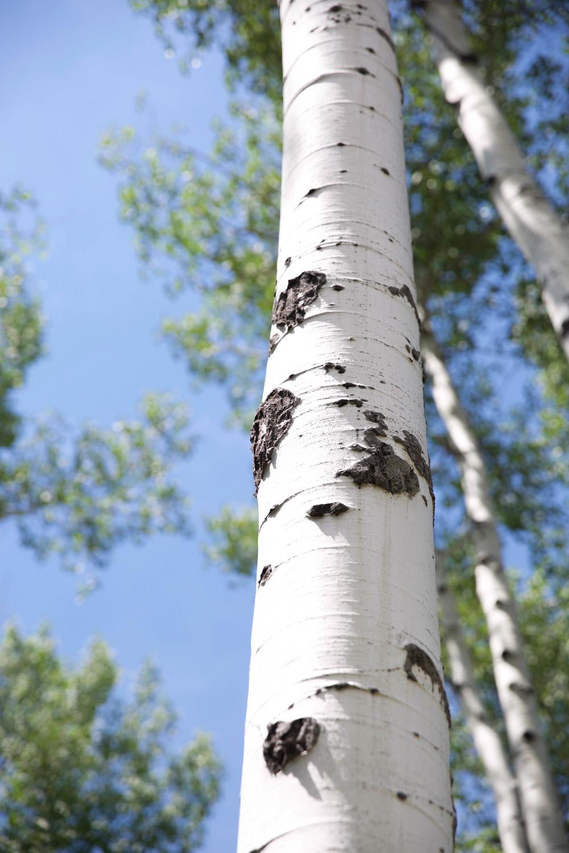 aspen-pine-utah-laurenschwaiger-travel-blog.jpg