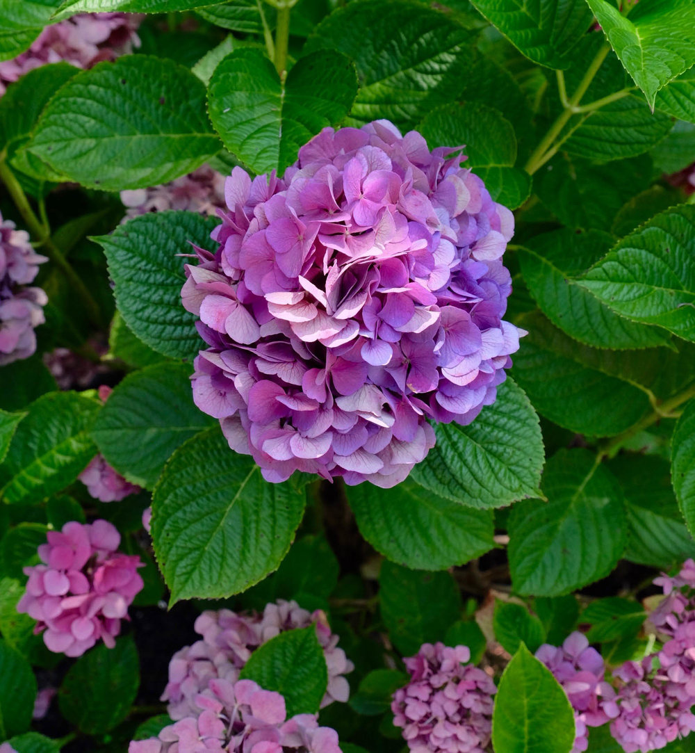 hydrangeas-nantucket-laurenschwaiger-lifestyle-travel-blog.jpg