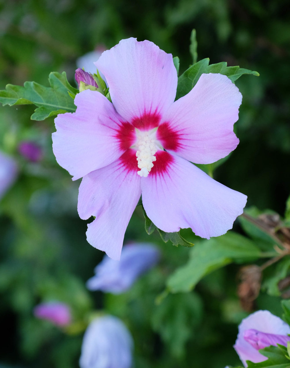 nantucket-hibiscus-laurenschwaiger-travel-blog.jpg