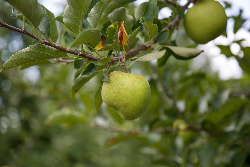 Grandad's-Apples-Hendersonville-NC-LaurenSchwaiger-Blog.jpg
