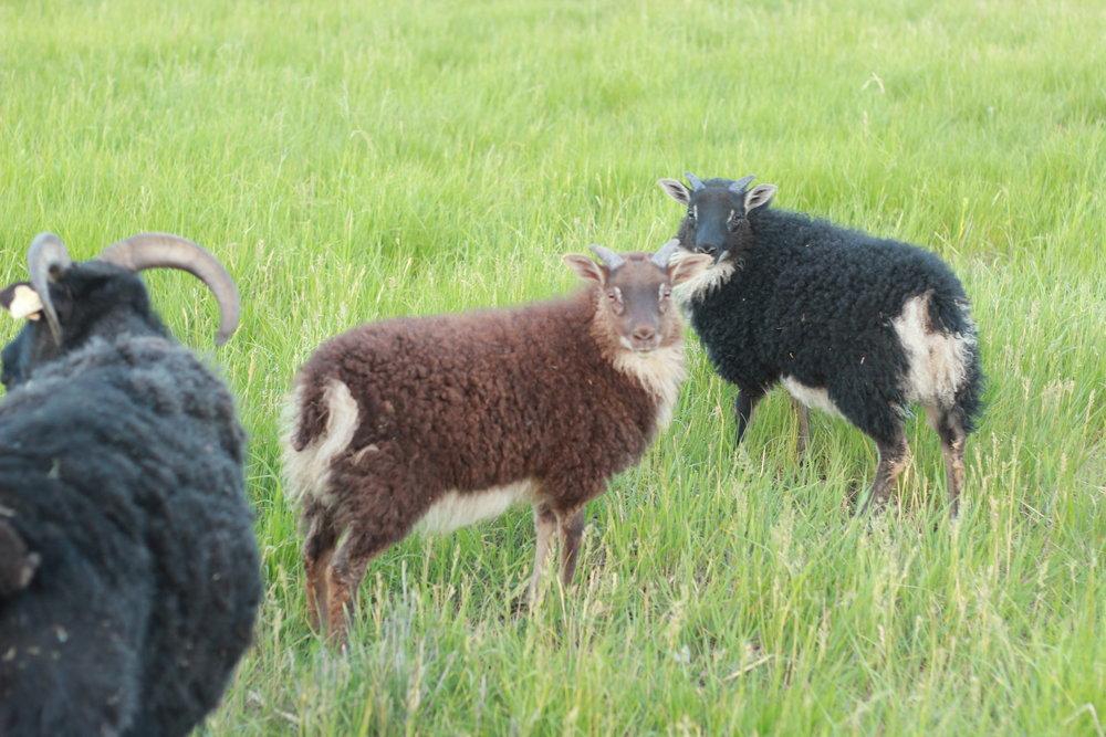 - dam Ebonysire DracoMoorit mouflon ram lamb