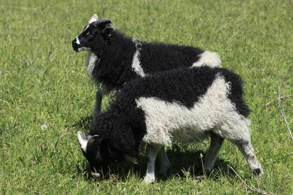 - dam Leiselsire Black JackBoth of these black spotted lambs are male.