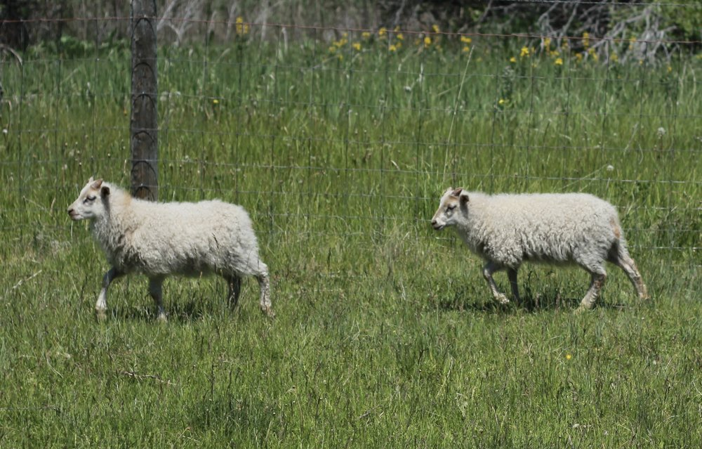 - dam Jumpersire ManiTwo white lambs born 30th April, the last ones to come.