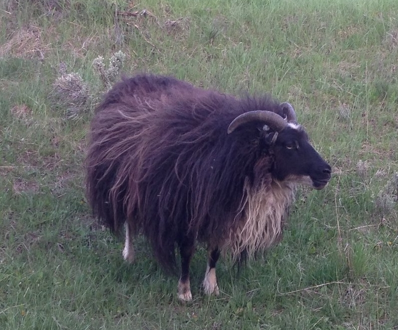 - Kono is friendly, confident, inquisitive.  Sire Draco.  She is black mouflon.  Carries brown and spotted.