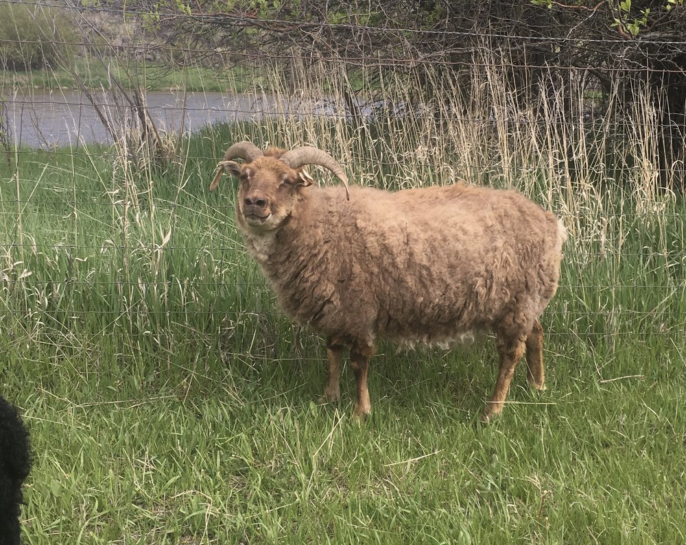- Carmela, a moorit mouflon, is named for the rich caramel color of her outer wool. Sire Draco. Self-assured and friendly. Twin sister to Kono. Carries spotted. Probably our second biggest ewe.