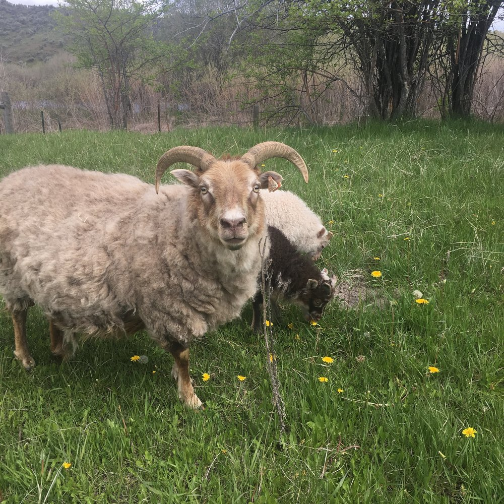 - Leger is a grey moorit who lost a premature singleton her first year, but in 2017 had a nice set of twins and has taken good care of them. Sire Draco.