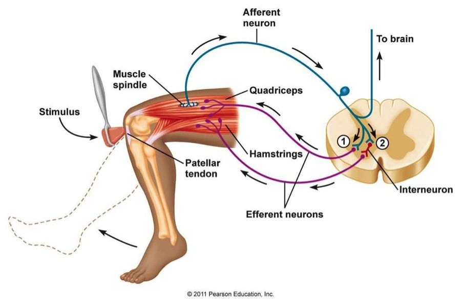 Breaking Down Squats From A Biomechanics Perspective Evolving Fitness