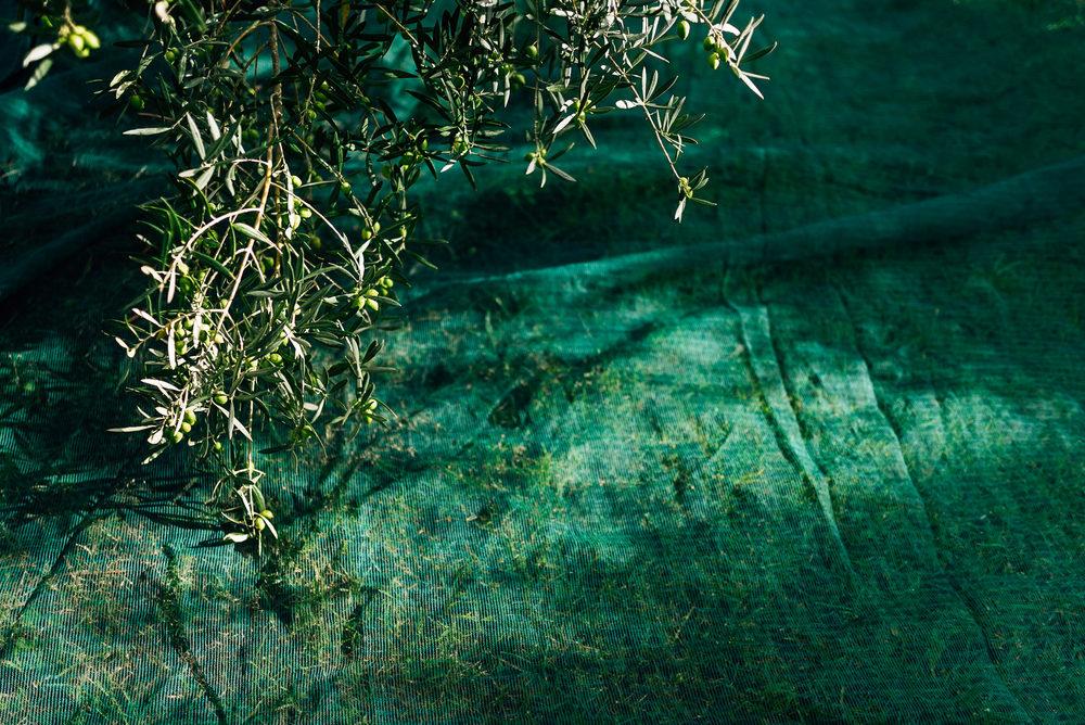 Olive Pick-1.jpg